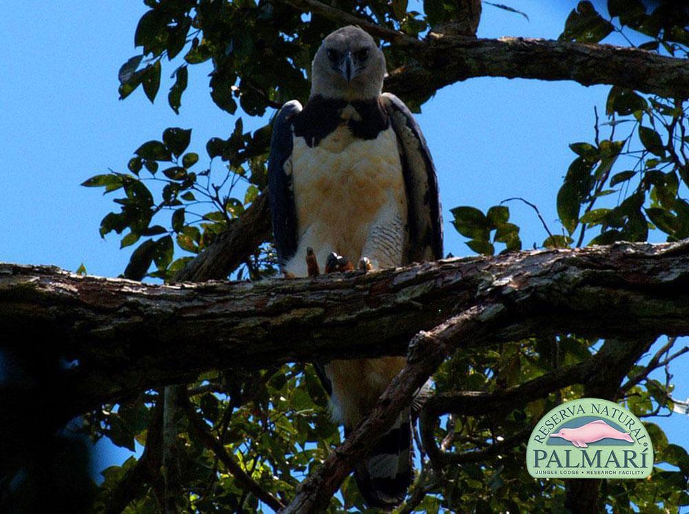 Harpy-Eagle-Harpia-harpyja-Reserva-Natural-Palmari-01