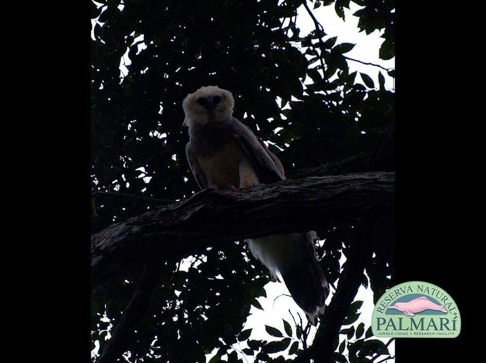 Harpy-Eagle-Harpia-harpyja-Reserva-Natural-Palmari-02