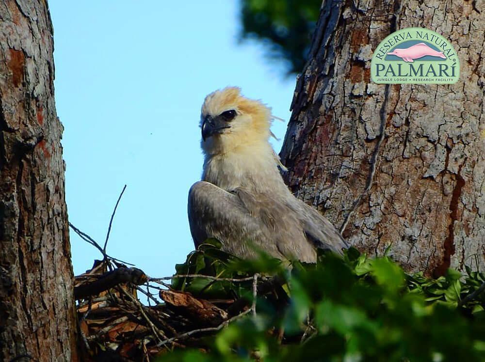 Harpy-Eagle-Harpia-harpyja-Reserva-Natural-Palmari-03