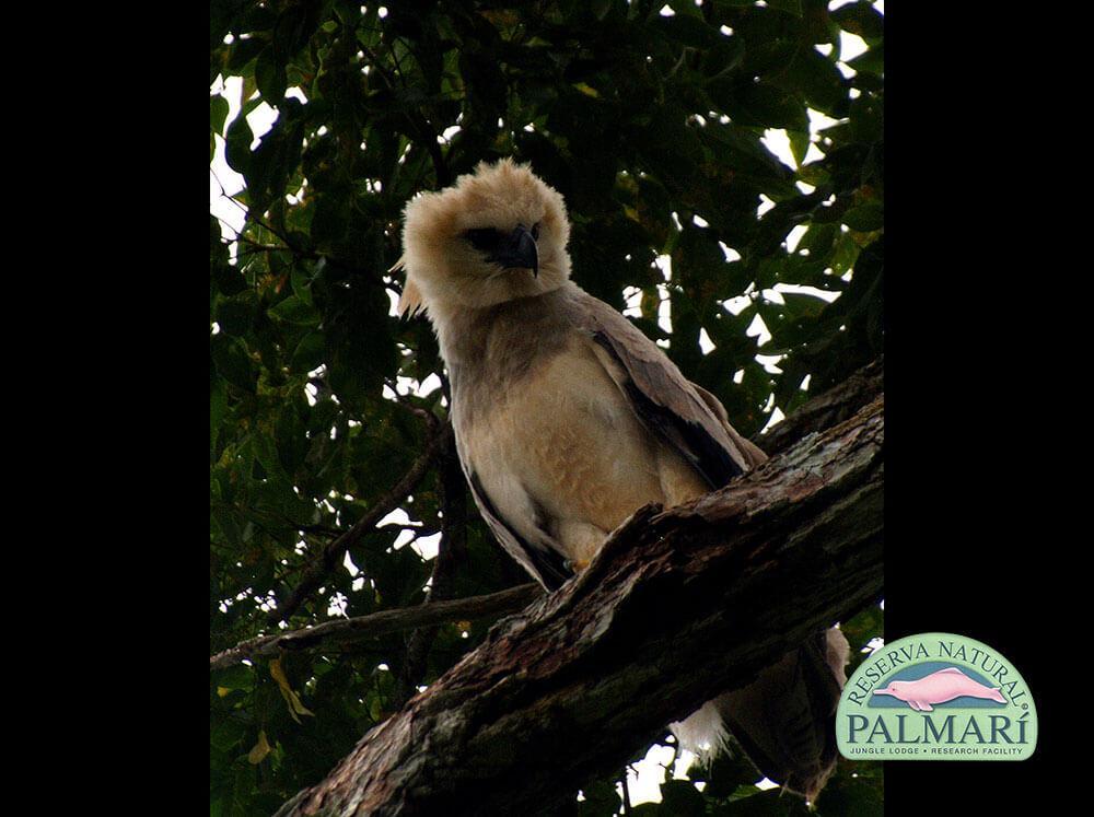 Harpy-Eagle-Harpia-harpyja-Reserva-Natural-Palmari-04