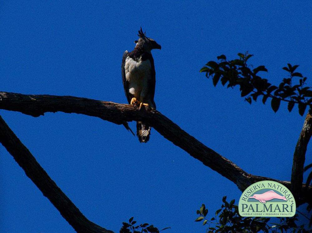 Harpy-Eagle-Harpia-harpyja-Reserva-Natural-Palmari-05