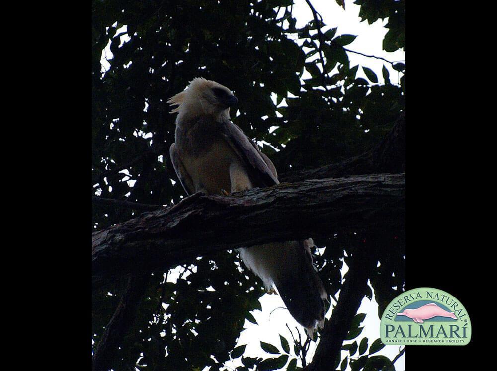 Harpy-Eagle-Harpia-harpyja-Reserva-Natural-Palmari-06