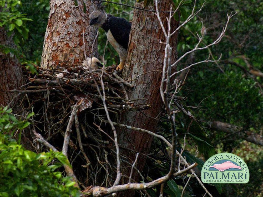 Harpy-Eagle-Harpia-harpyja-Reserva-Natural-Palmari-07