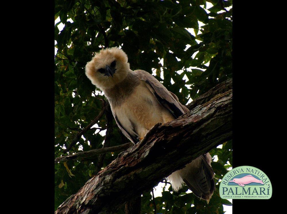 Harpy-Eagle-Harpia-harpyja-Reserva-Natural-Palmari-08