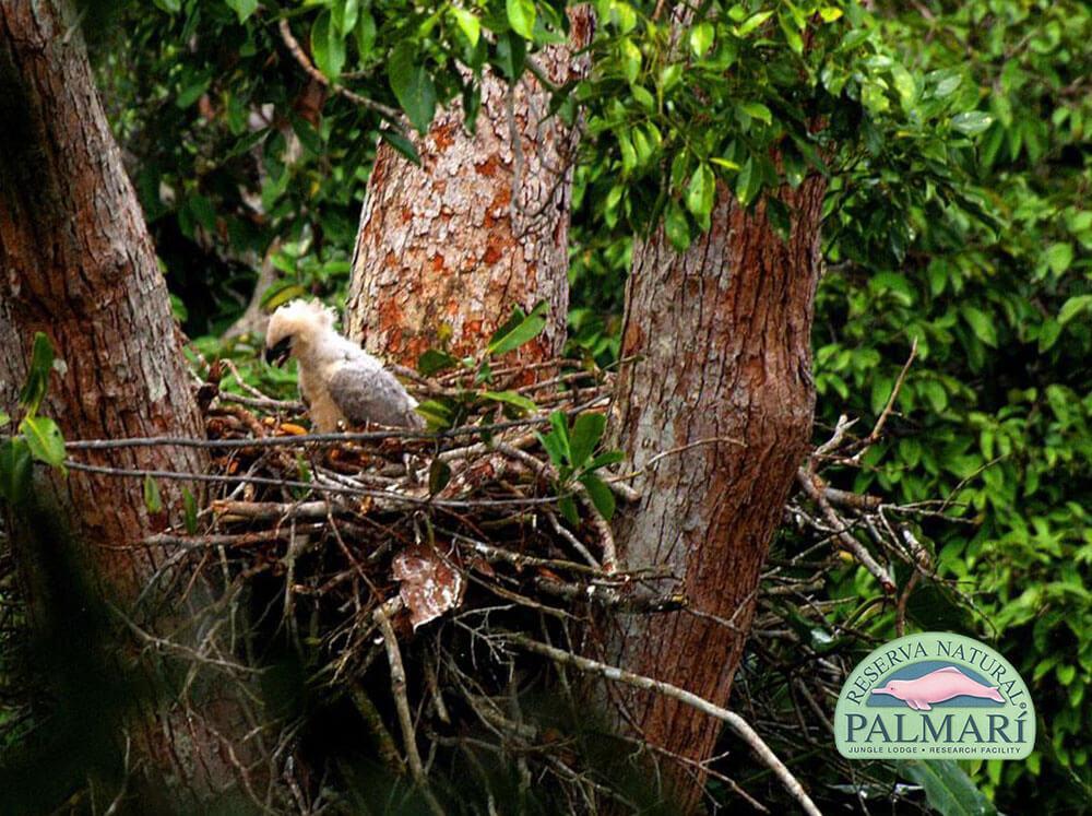 Harpy-Eagle-Harpia-harpyja-Reserva-Natural-Palmari-09