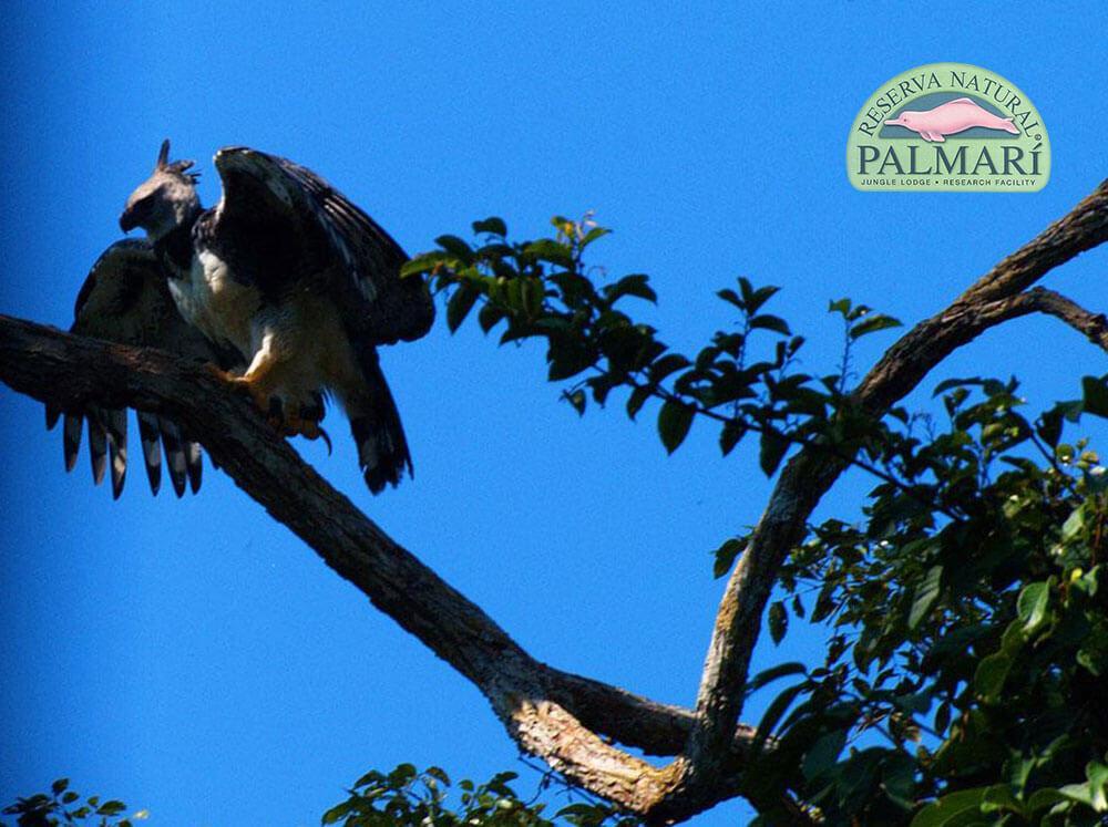 Harpy-Eagle-Harpia-harpyja-Reserva-Natural-Palmari-10