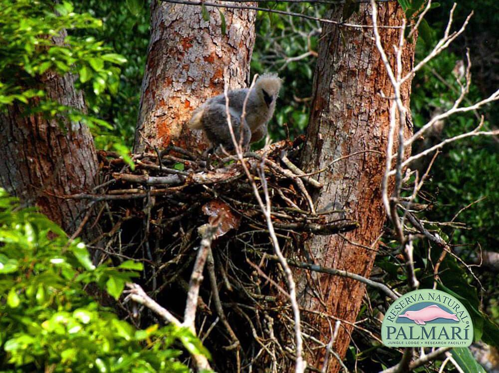 Harpy-Eagle-Harpia-harpyja-Reserva-Natural-Palmari-11