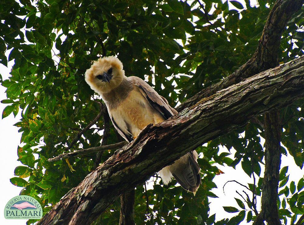 Harpy-Eagle-Harpia-harpyja-Reserva-Natural-Palmari-12