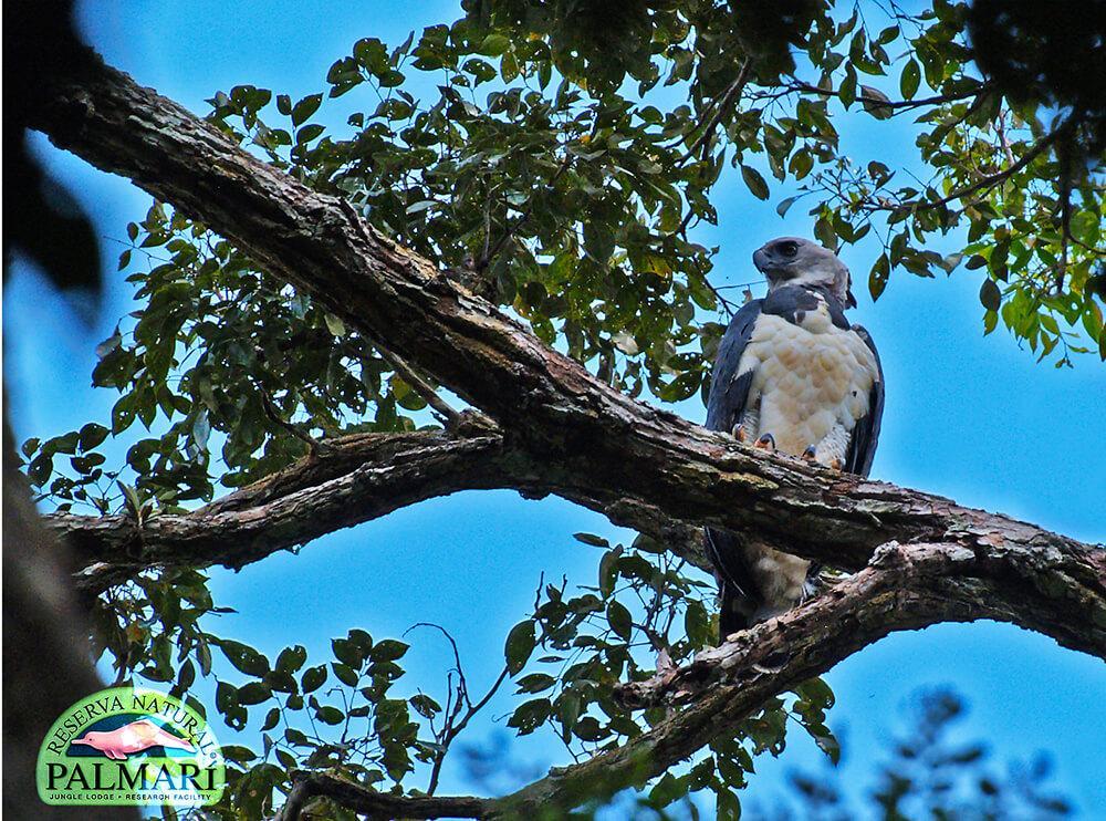 Harpy-Eagle-Harpia-harpyja-Reserva-Natural-Palmari-13