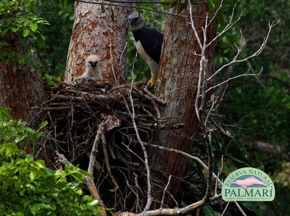 Harpy-Eagle-Harpia-harpyja-Reserva-Natural-Palmari-14