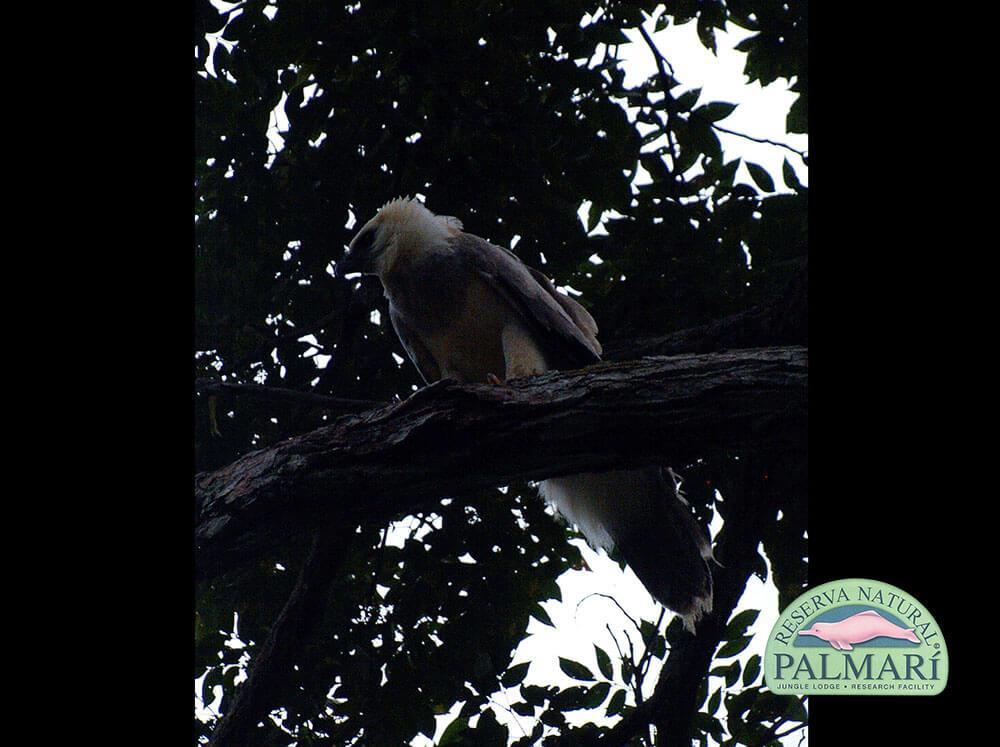 Harpy-Eagle-Harpia-harpyja-Reserva-Natural-Palmari-15