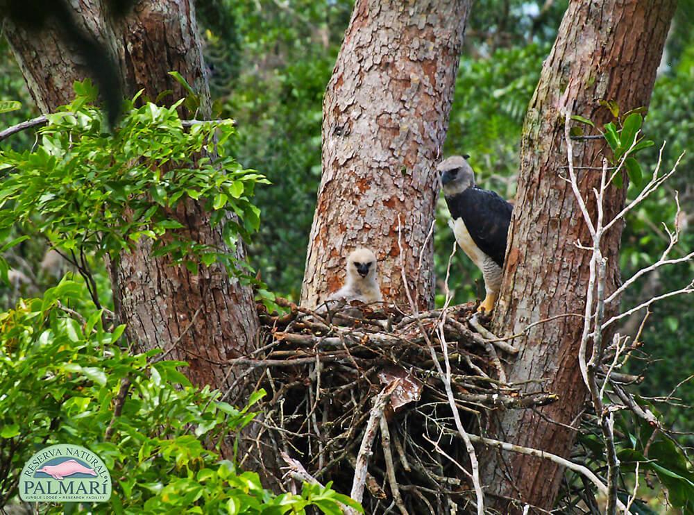 Harpy-Eagle-Harpia-harpyja-Reserva-Natural-Palmari-16