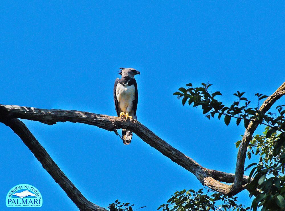 Harpy-Eagle-Harpia-harpyja-Reserva-Natural-Palmari-17