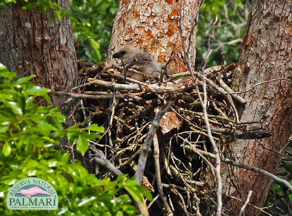 Harpy-Eagle-Harpia-harpyja-Reserva-Natural-Palmari-18