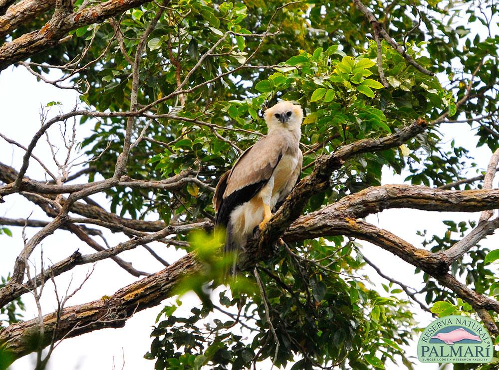 Harpy-Eagle-Harpia-harpyja-Reserva-Natural-Palmari-19